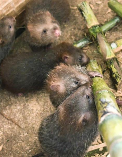 ネズミ 生きたまま 中国 <最も残酷な中国料理その3>生きた赤ちゃんネズミの丸かじり!